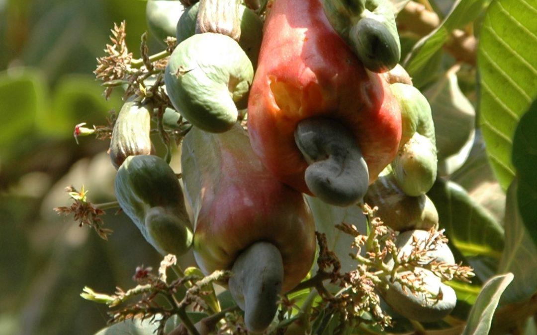 Production de noix de cajou